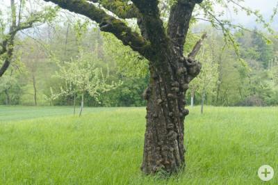 Apfelbaum Sorte Blenheimer